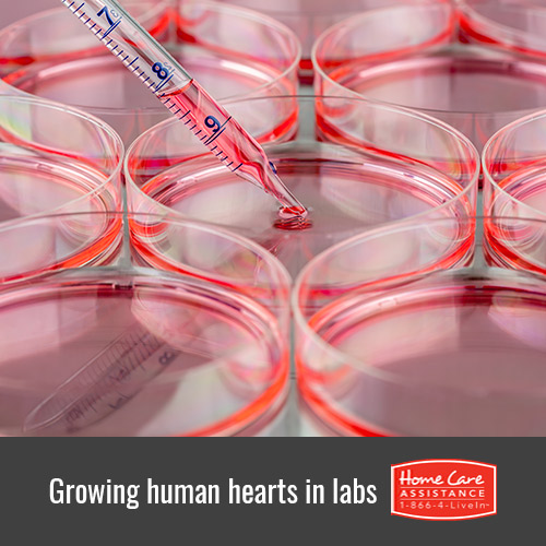 Can Scientists Grow Human Hearts in Laboratories in Dallas, TX?